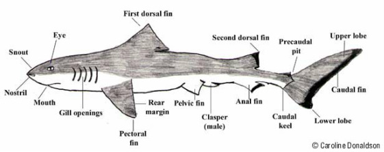 Basic Diagram Of Shark Search For Wiring Diagrams